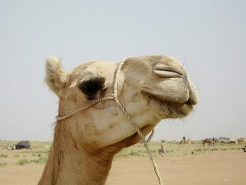 camel niger nature
