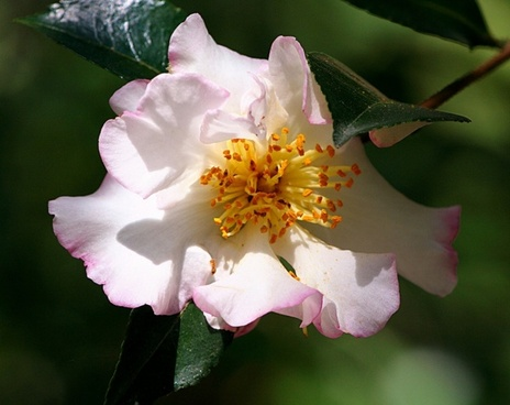 camellia flower pink