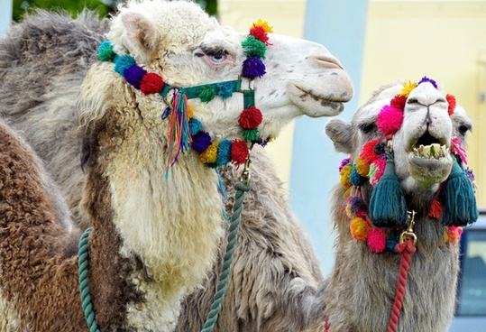 camels blue eyed animals