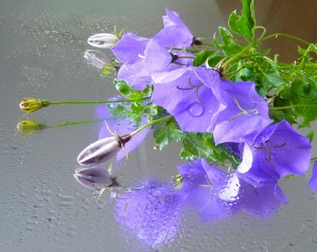 campanula bellflower reflections