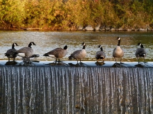 canada geese birds feathered