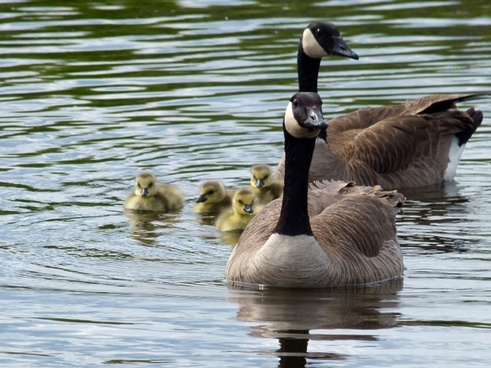 canada geese brood offspring