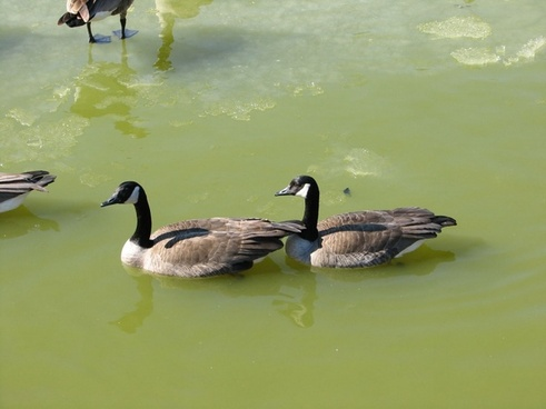 canada geese couple