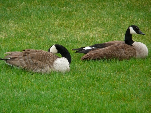 canada geese water birds animals
