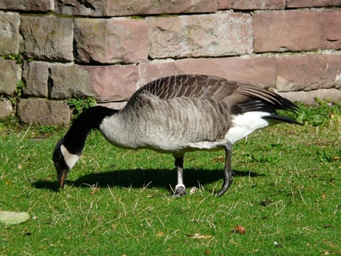 canada goose branta canadensis goose