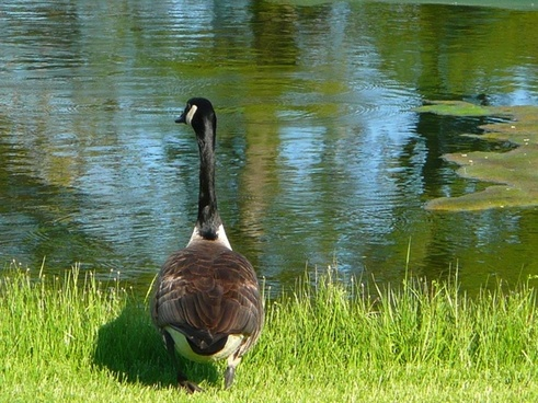 canada goose pond water