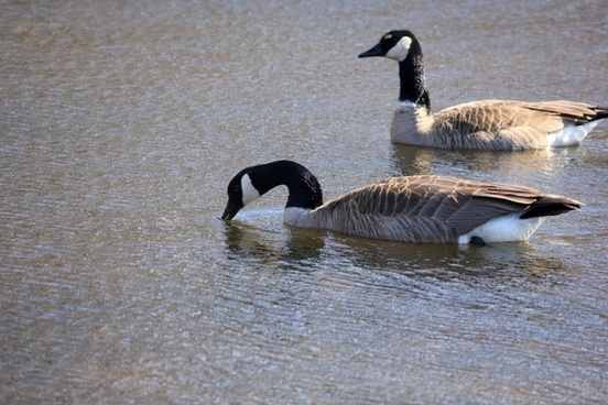 canadian geese at kettle moraine south wisconsin
