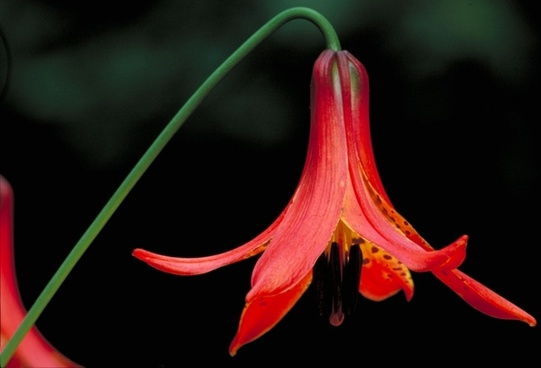canadian lilly flower beautiful