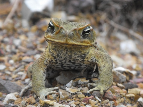 cane toad toad wildlife australia