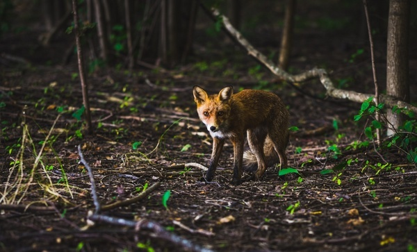 canine cub cute daytime feline forest fox fur