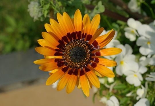 cape daisy venidium fastuosum flower