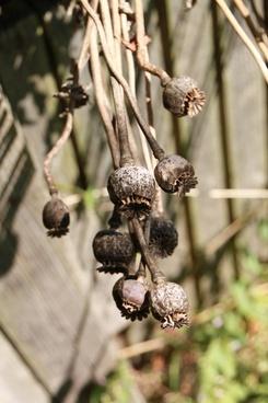 capsules dried poppy