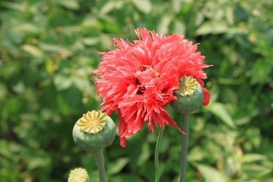 capsules flowers herbs