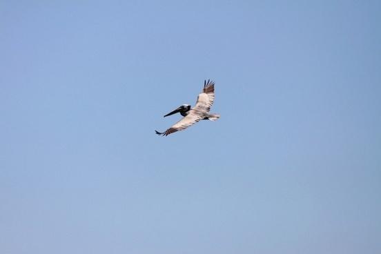 captiva pelican