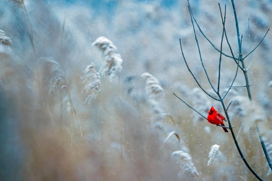 cute red tiny bird on leafless branch in winter