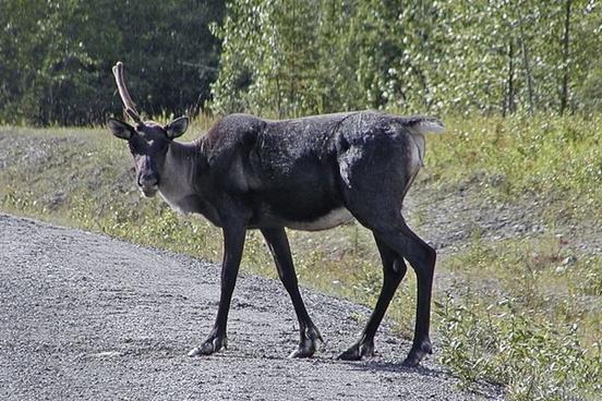 caribou animal canadien rockies