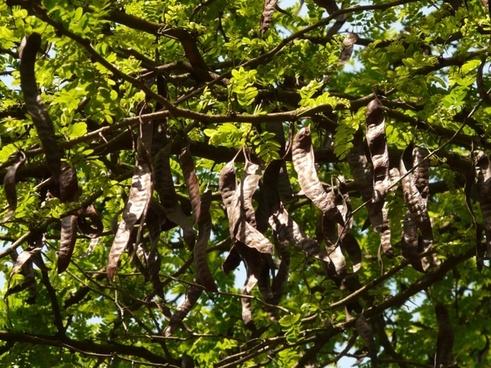 carob tree legumes