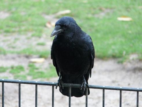 carrion crow corvus corone crow