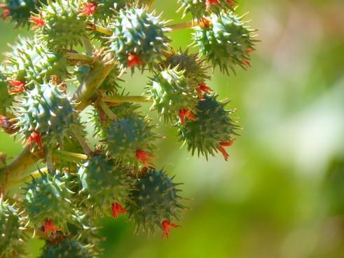 castor-oil plant castor fruit flower