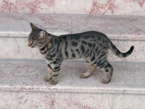 cat animal mackerel