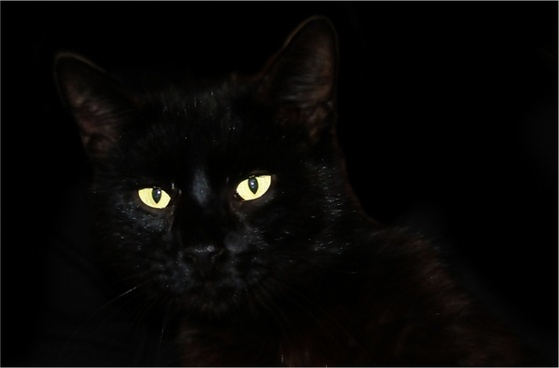 cat black cat pet