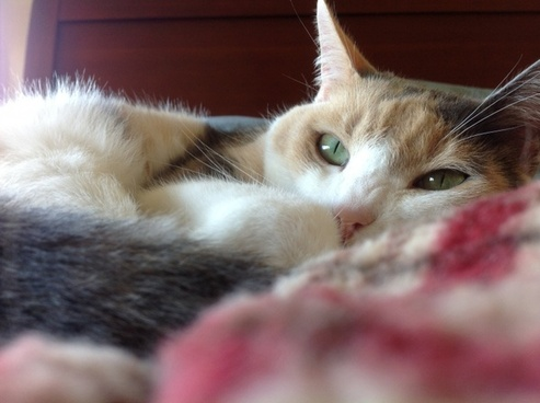 cat calico resting cat