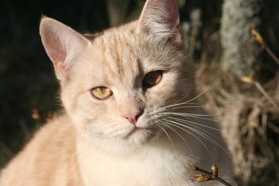 cat domestic cat european shorthair