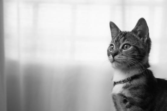 cat feline gata