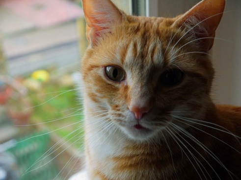 cat ginger looking