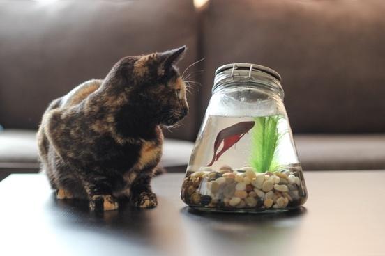 cat looking at betta fish in bowl