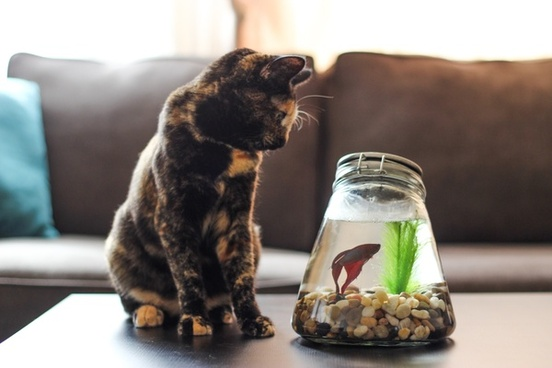 cat on table watching betta fish in bowl