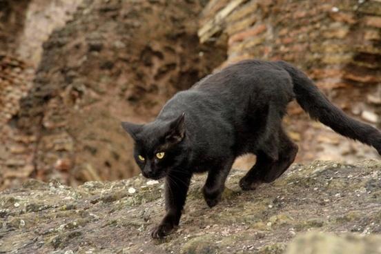 cat pets black