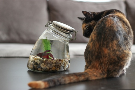 cat staring at fish in glass jar