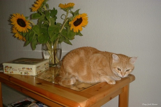 cat with sunflowers