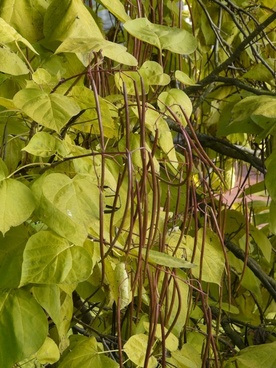 catalpa pods light green