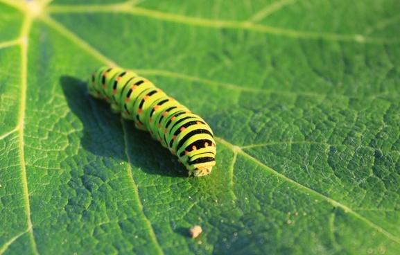 caterpillar green leaf