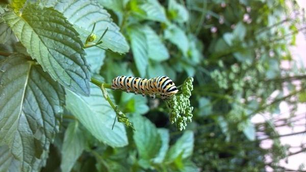 caterpillar insect nature
