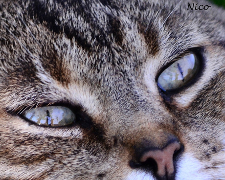 catou tabby eyes dsc 1824 cat