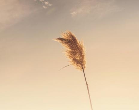 cattail dandelion daytime dry fluffy gras grass