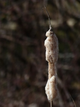 cattail reeds flying seeds