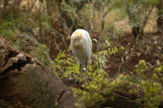 cattle egret bird macro