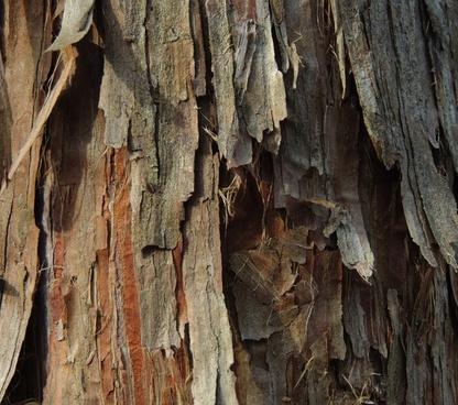 cedar tree nature