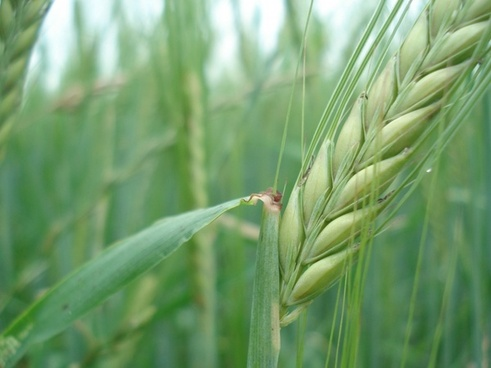 cereals rye wheat