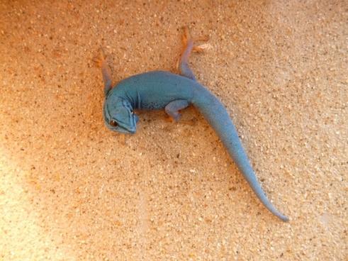 cerulean dwarf day gecko gecko