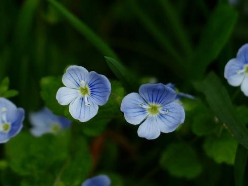 chamaedrys flower blue