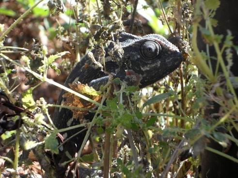 chameleon common chameleon european chameleon