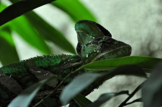 chameleon reptile animal