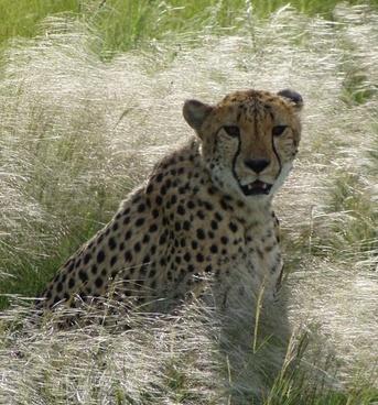 cheetah africa predator