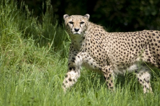 cheetah predator cat