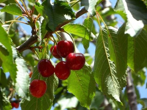 cherries ripe fruits